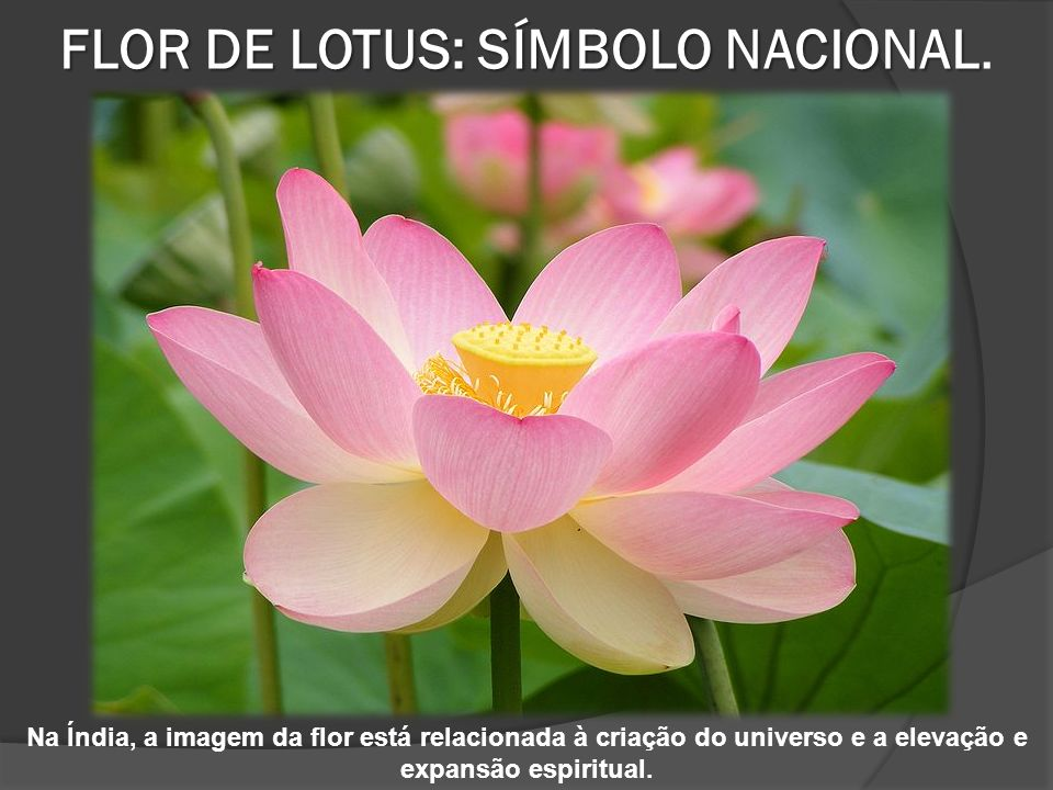 FLOR DE LOTUS: SÍMBOLO NACIONAL FLOR DE LOTUS: SÍMBOLO NACIONAL.