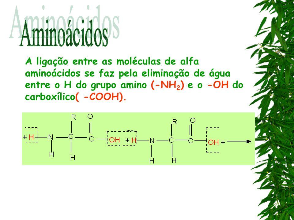 A ligação entre as moléculas de alfa aminoácidos se faz pela eliminação de água entre o H do grupo amino (-NH 2 ) e o -OH do carboxílico( -COOH).