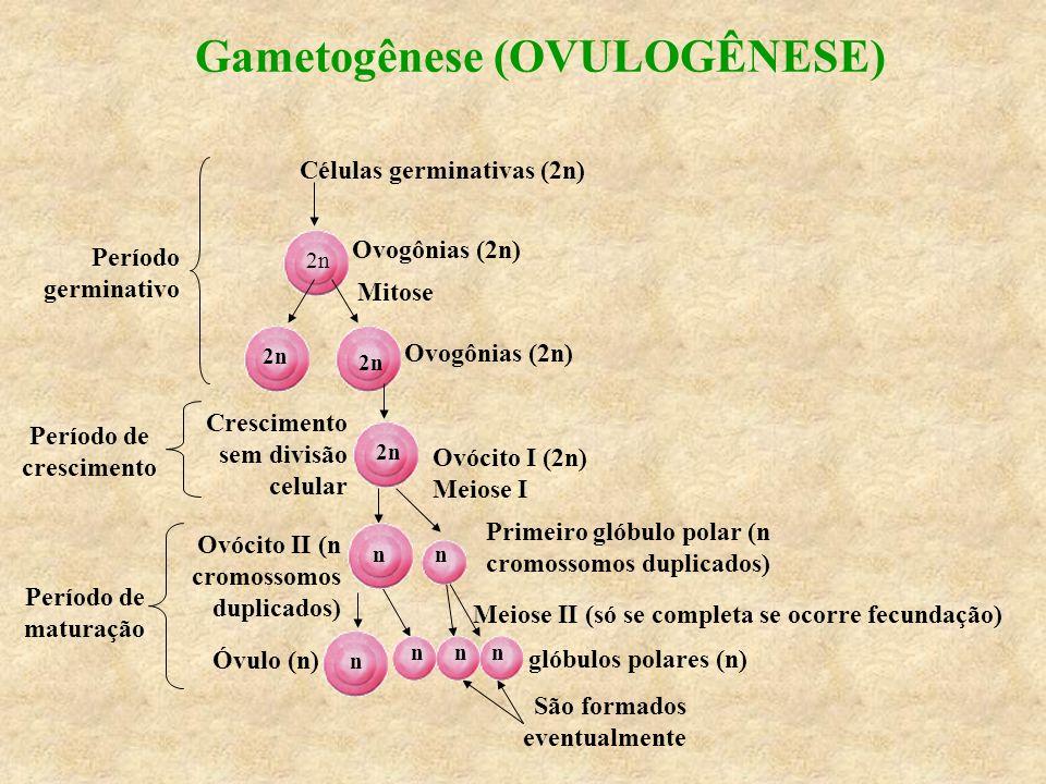 Gametogênese (OVULOGÊNESE) Células germinativas (2n) Meiose II (só se completa se ocorre fecundação) São formados eventualmente Período germinativo Pe