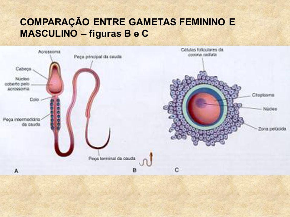 COMPARAÇÃO ENTRE GAMETAS FEMININO E MASCULINO – figuras B e C