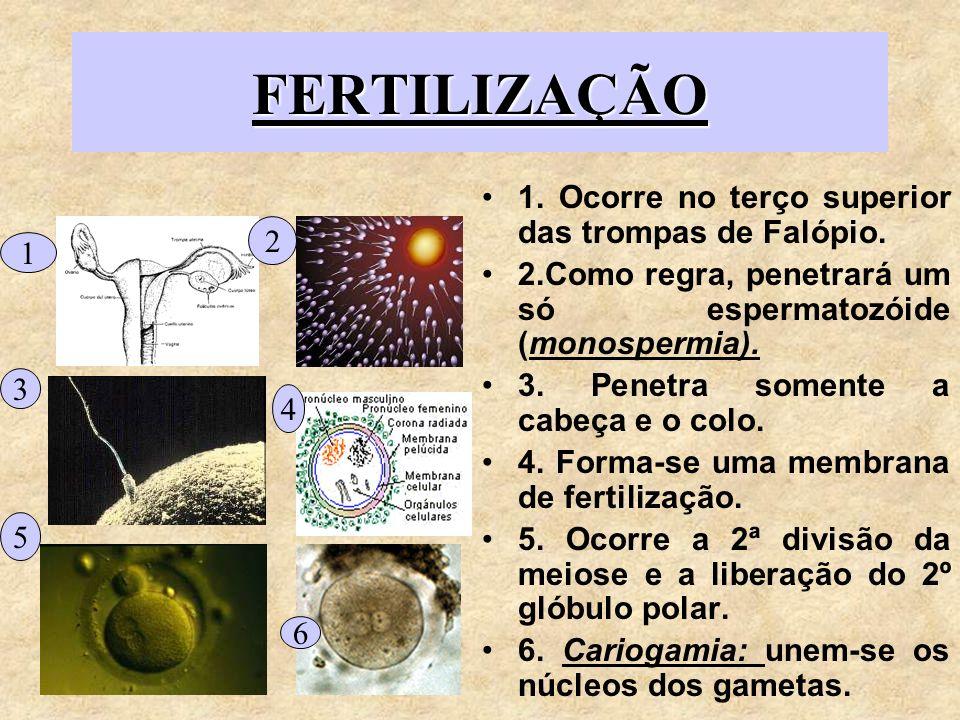 FERTILIZAÇÃO 1. Ocorre no terço superior das trompas de Falópio. 2.Como regra, penetrará um só espermatozóide (monospermia). 3. Penetra somente a cabe