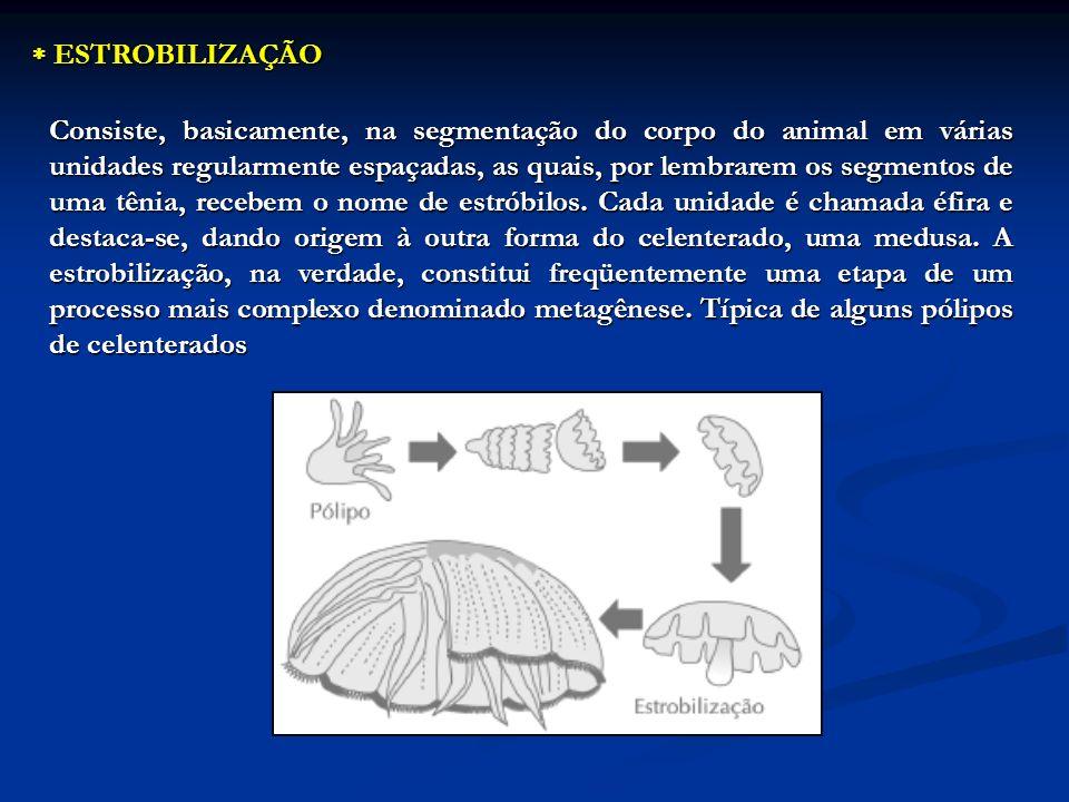ESTROBILIZAÇÃO ESTROBILIZAÇÃO Consiste, basicamente, na segmentação do corpo do animal em várias unidades regularmente espaçadas, as quais, por lembra