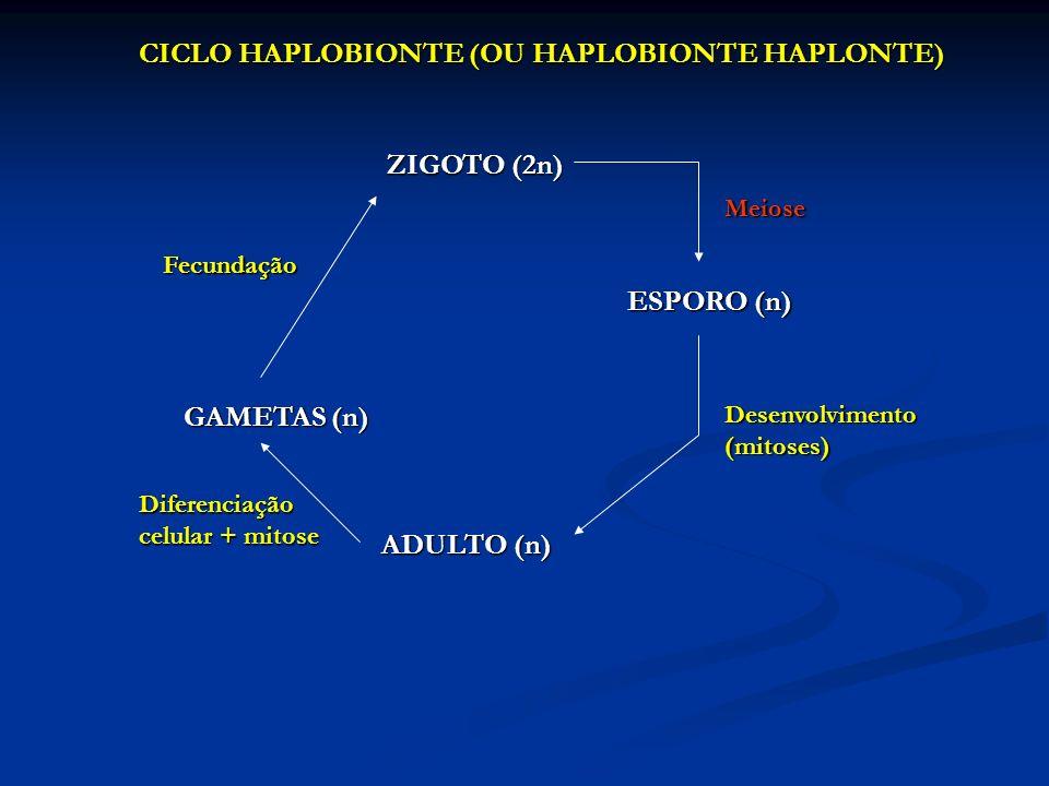 CICLO HAPLOBIONTE (OU HAPLOBIONTE HAPLONTE) ZIGOTO (2n) Meiose ESPORO (n) ADULTO (n) GAMETAS (n) Fecundação Desenvolvimento (mitoses) Diferenciação ce