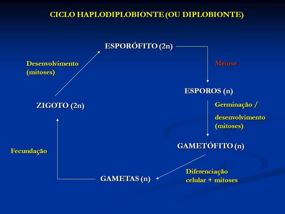 CICLO HAPLODIPLOBIONTE (OU DIPLOBIONTE) ESPORÓFITO (2n) Meiose ESPOROS (n) Germinação / desenvolvimento (mitoses) GAMETÓFITO (n) GAMETAS (n) Fecundaçã