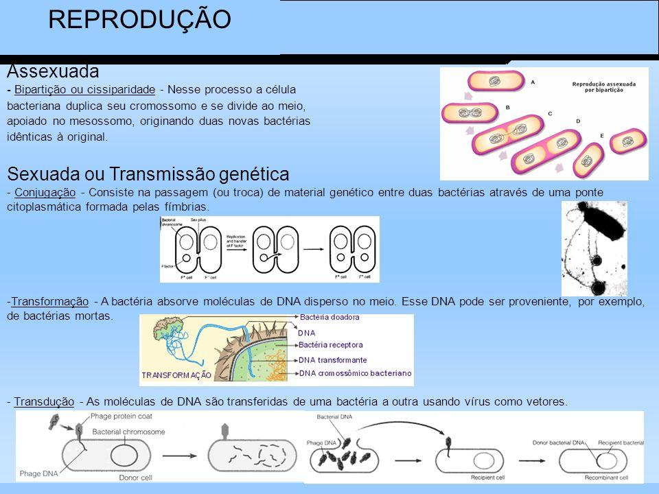 REPRODUÇÃO Assexuada - Bipartição ou cissiparidade - Nesse processo a célula bacteriana duplica seu cromossomo e se divide ao meio, apoiado no mesosso