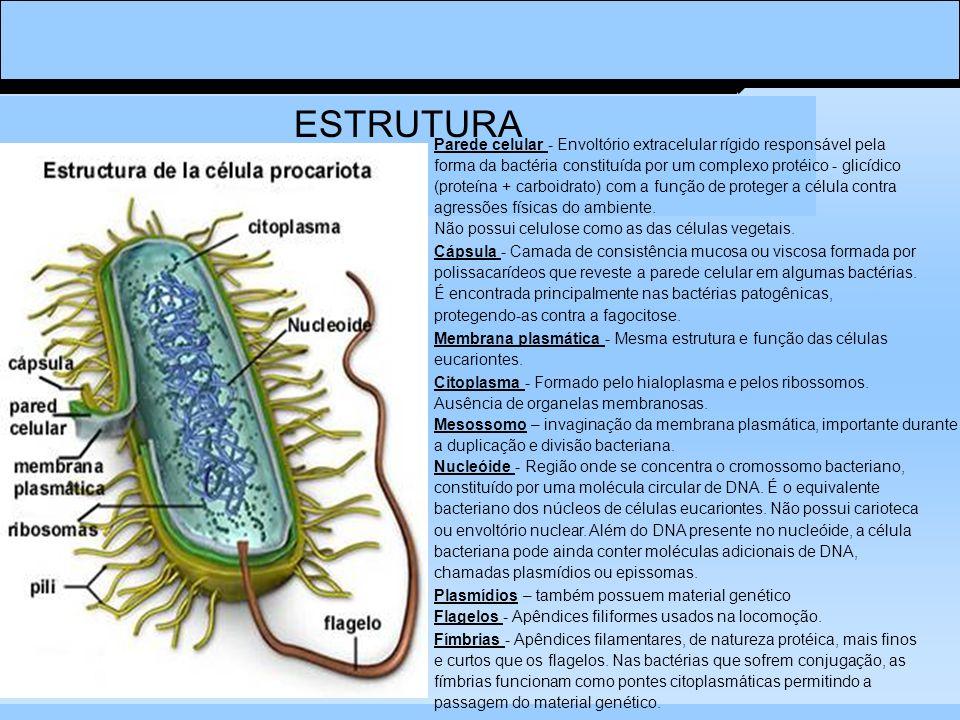 ESTRUTURA Parede celular - Envoltório extracelular rígido responsável pela forma da bactéria constituída por um complexo protéico - glicídico (proteína + carboidrato) com a função de proteger a célula contra agressões físicas do ambiente.