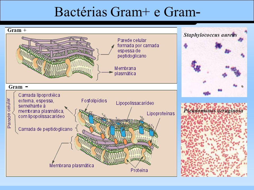 Bactérias Gram+ e Gram - Staphylococcus aureus Pseudomonas aeruginosa Gram + Gram -