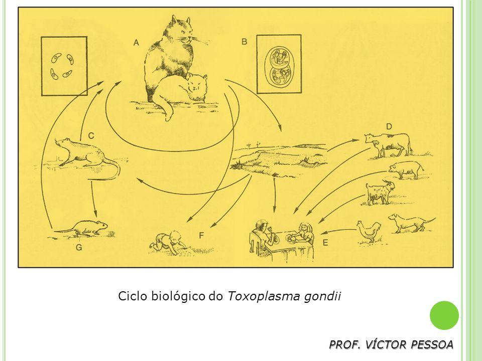 PROF. VÍCTOR PESSOA Ciclo biológico do Toxoplasma gondii