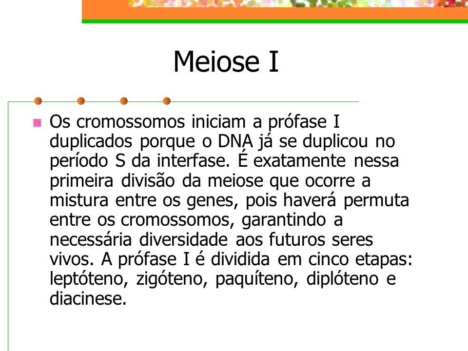 Meiose I Os cromossomos iniciam a prófase I duplicados porque o DNA já se duplicou no período S da interfase. É exatamente nessa primeira divisão da m