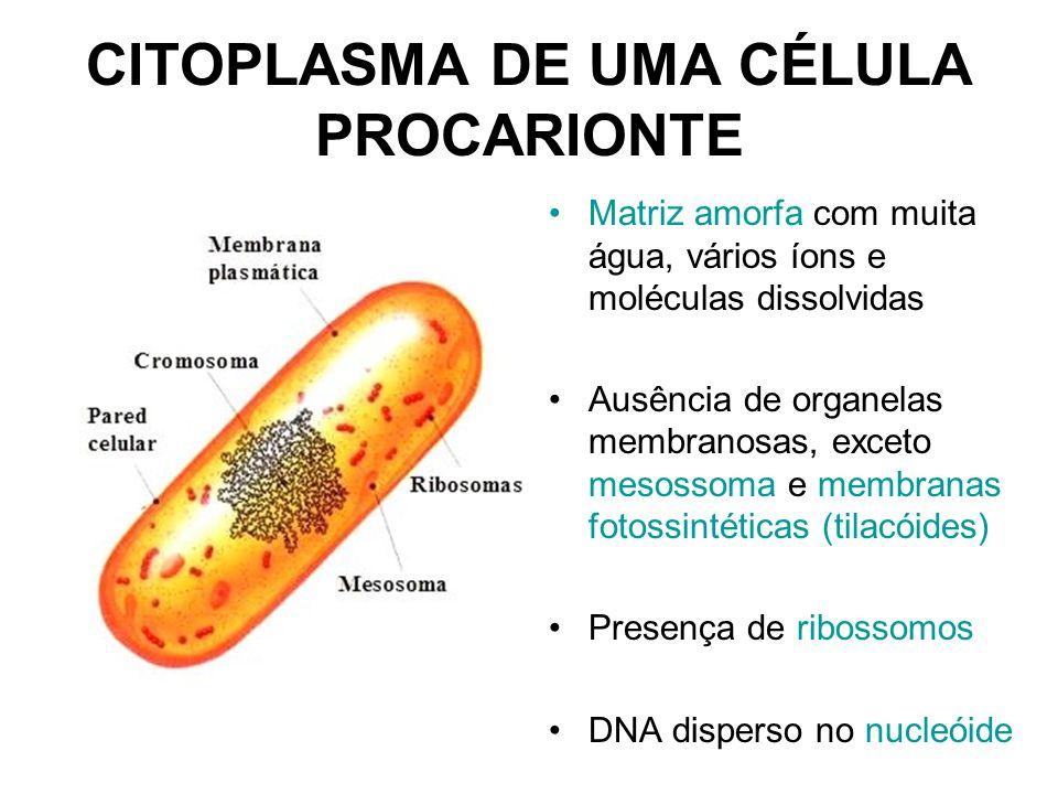 CITOPLASMA DE UMA CÉLULA PROCARIONTE Matriz amorfa com muita água, vários íons e moléculas dissolvidas Ausência de organelas membranosas, exceto mesos