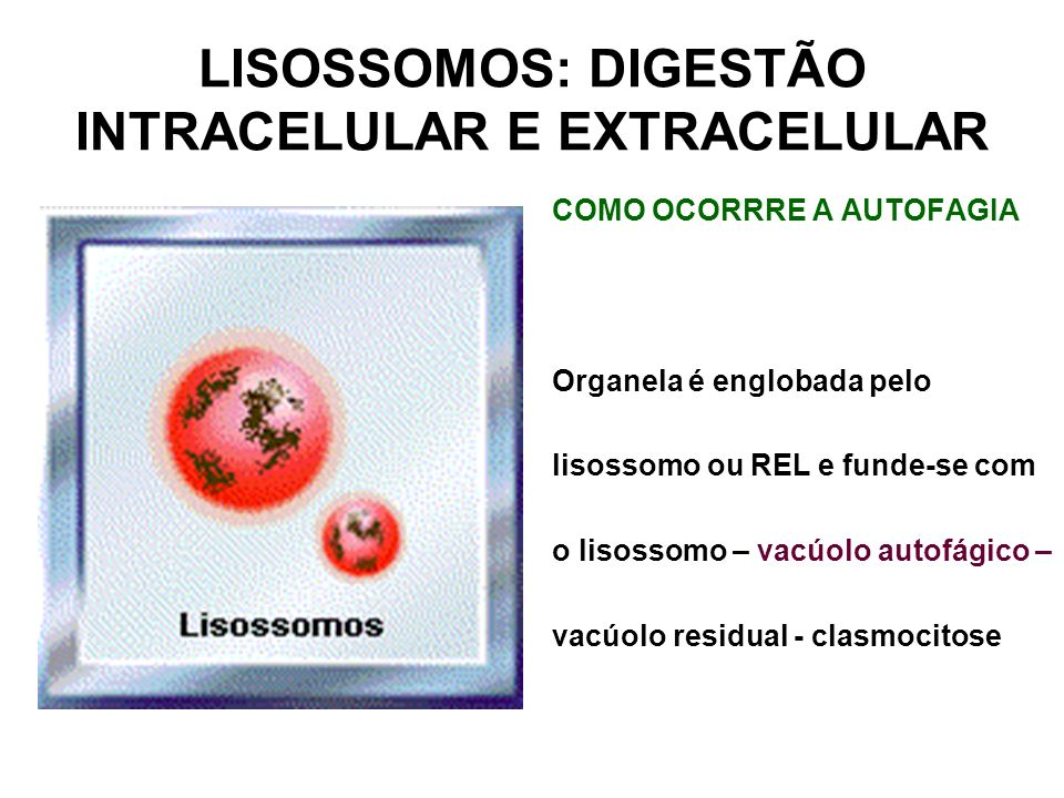 LISOSSOMOS: DIGESTÃO INTRACELULAR E EXTRACELULAR COMO OCORRRE A AUTOFAGIA Organela é englobada pelo lisossomo ou REL e funde-se com o lisossomo – vacú