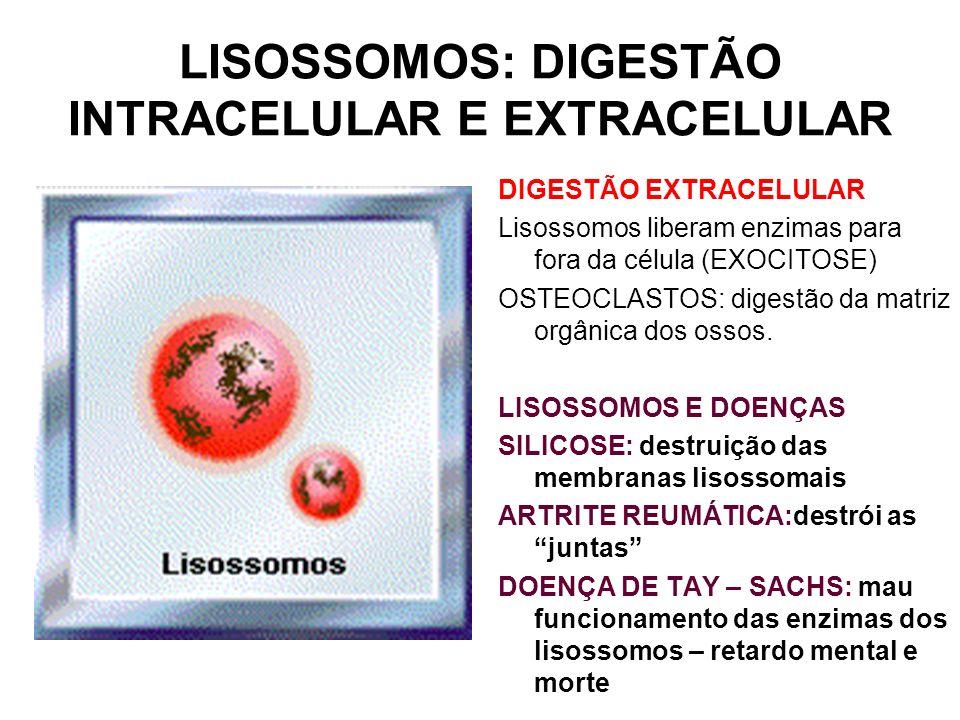 LISOSSOMOS: DIGESTÃO INTRACELULAR E EXTRACELULAR DIGESTÃO EXTRACELULAR Lisossomos liberam enzimas para fora da célula (EXOCITOSE) OSTEOCLASTOS: digest