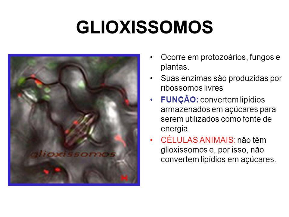 GLIOXISSOMOS Ocorre em protozoários, fungos e plantas. Suas enzimas são produzidas por ribossomos livres FUNÇÃO: convertem lipídios armazenados em açú