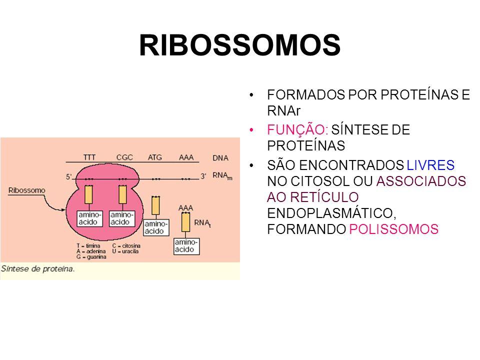 RIBOSSOMOS FORMADOS POR PROTEÍNAS E RNAr FUNÇÃO: SÍNTESE DE PROTEÍNAS SÃO ENCONTRADOS LIVRES NO CITOSOL OU ASSOCIADOS AO RETÍCULO ENDOPLASMÁTICO, FORM