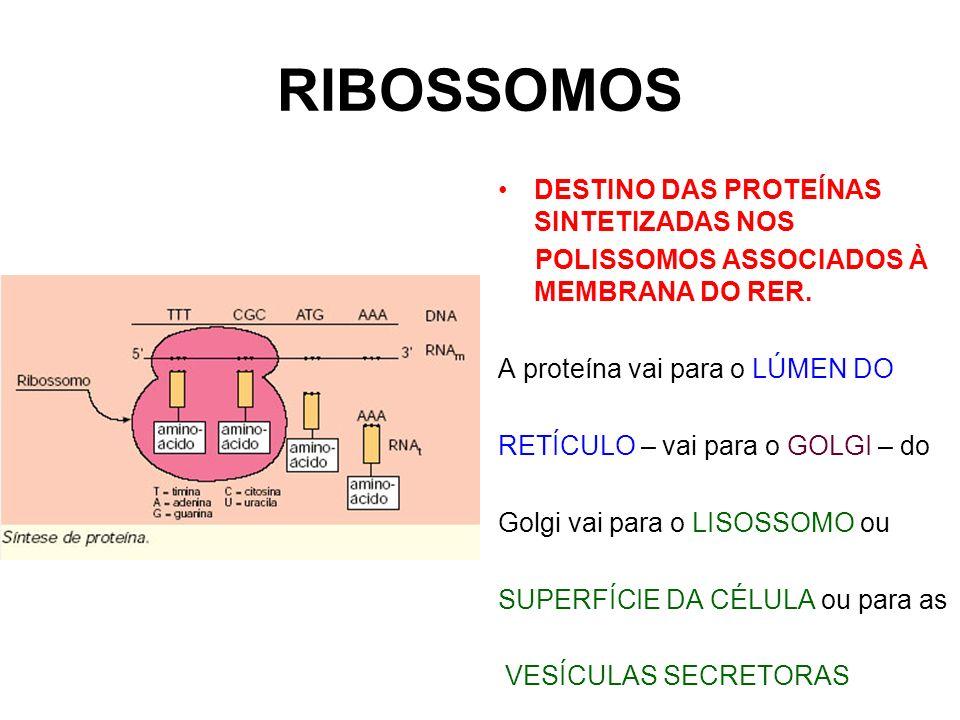 RIBOSSOMOS DESTINO DAS PROTEÍNAS SINTETIZADAS NOS POLISSOMOS ASSOCIADOS À MEMBRANA DO RER. A proteína vai para o LÚMEN DO RETÍCULO – vai para o GOLGI