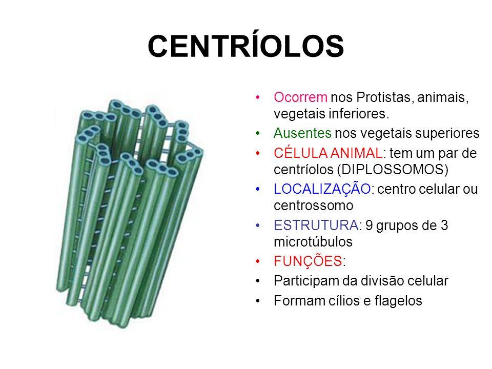 CENTRÍOLOS Ocorrem nos Protistas, animais, vegetais inferiores. Ausentes nos vegetais superiores CÉLULA ANIMAL: tem um par de centríolos (DIPLOSSOMOS)