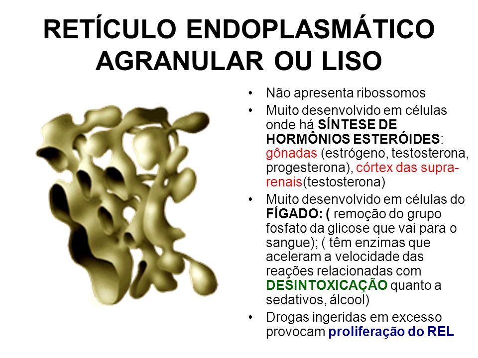 RETÍCULO ENDOPLASMÁTICO AGRANULAR OU LISO Não apresenta ribossomos Muito desenvolvido em células onde há SÍNTESE DE HORMÔNIOS ESTERÓIDES: gônadas (est