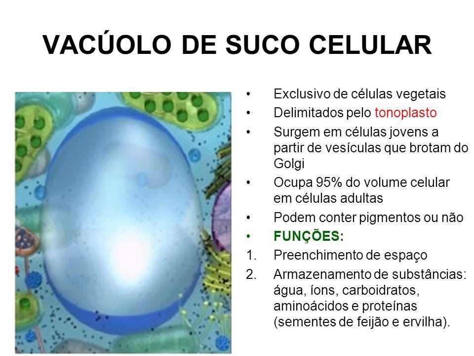 VACÚOLO DE SUCO CELULAR Exclusivo de células vegetais Delimitados pelo tonoplasto Surgem em células jovens a partir de vesículas que brotam do Golgi O