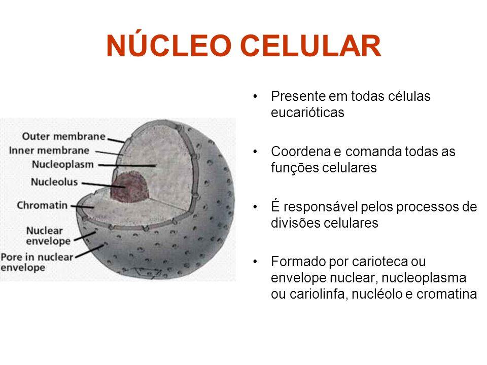 NÚCLEO CELULAR Presente em todas células eucarióticas Coordena e comanda todas as funções celulares É responsável pelos processos de divisões celulare