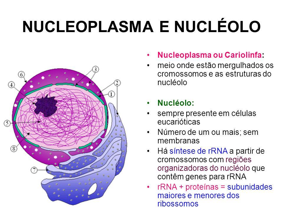 NUCLEOPLASMA E NUCLÉOLO Nucleoplasma ou Cariolinfa: meio onde estão mergulhados os cromossomos e as estruturas do nucléolo Nucléolo: sempre presente e
