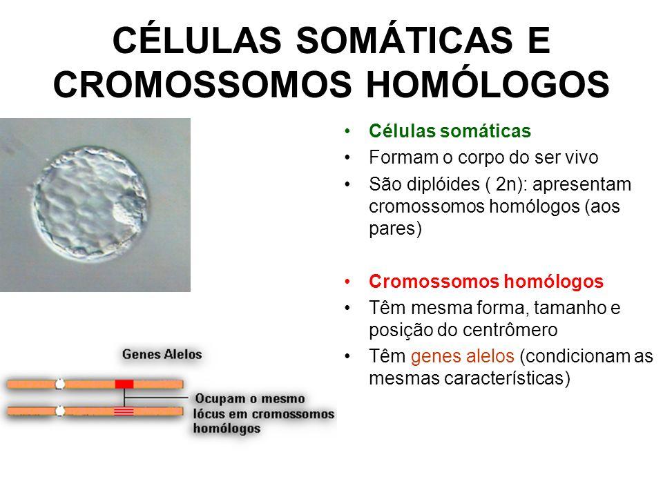CÉLULAS SOMÁTICAS E CROMOSSOMOS HOMÓLOGOS Células somáticas Formam o corpo do ser vivo São diplóides ( 2n): apresentam cromossomos homólogos (aos pare