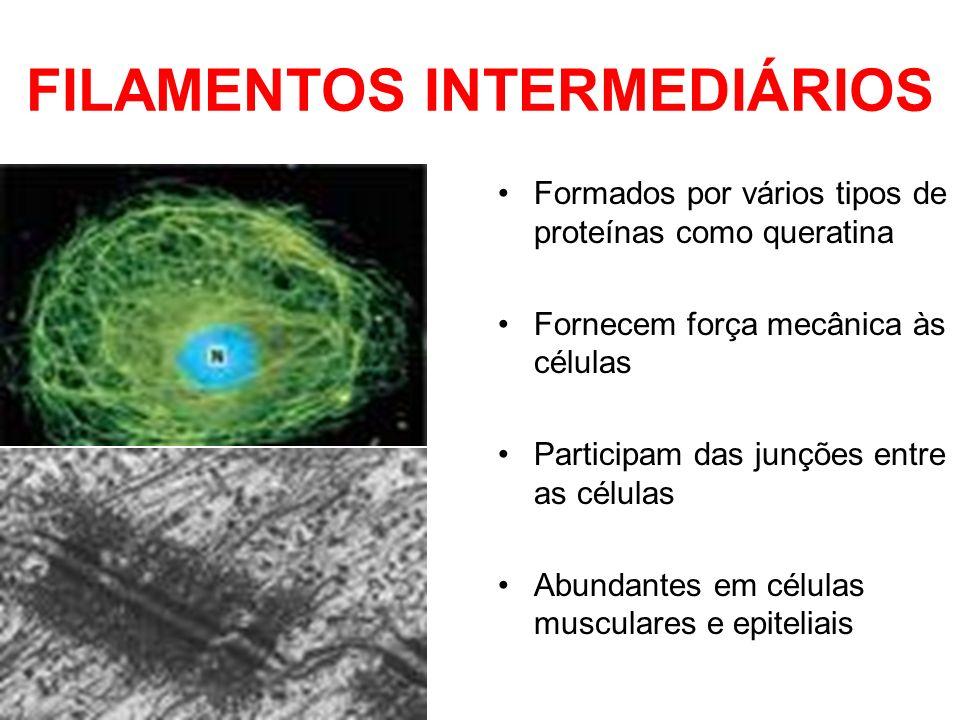 FILAMENTOS INTERMEDIÁRIOS Formados por vários tipos de proteínas como queratina Fornecem força mecânica às células Participam das junções entre as cél