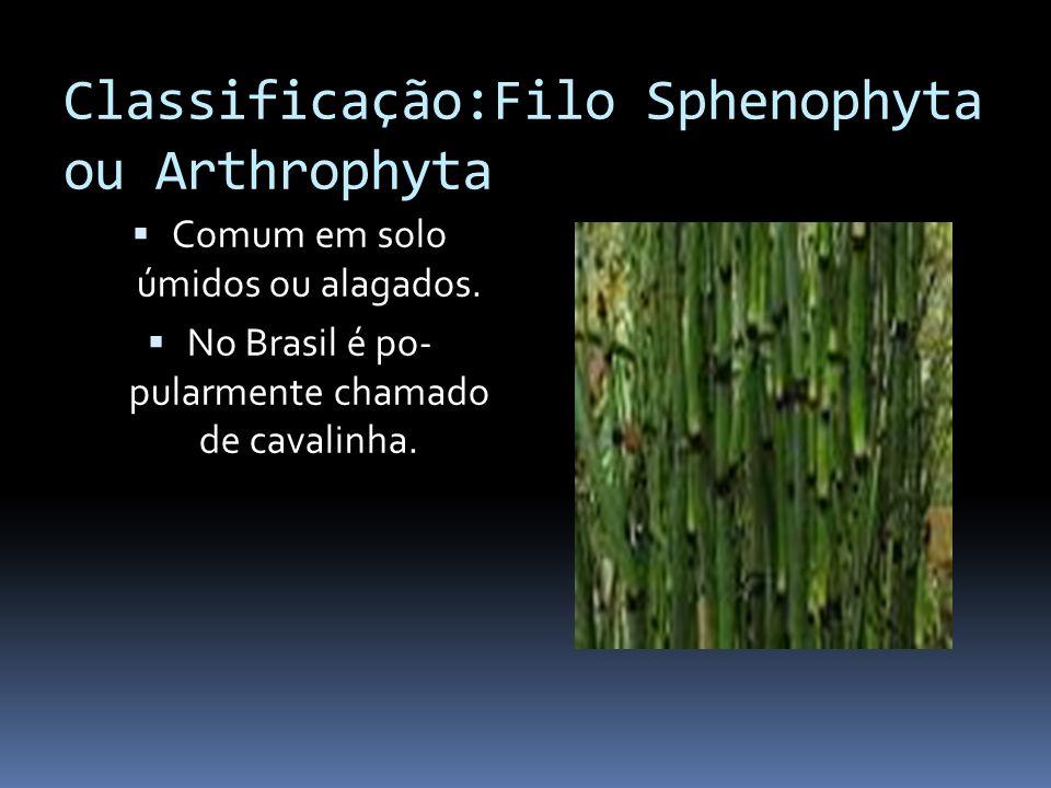 Classificação:Filo Sphenophyta ou Arthrophyta Comum em solo úmidos ou alagados. No Brasil é po- pularmente chamado de cavalinha.