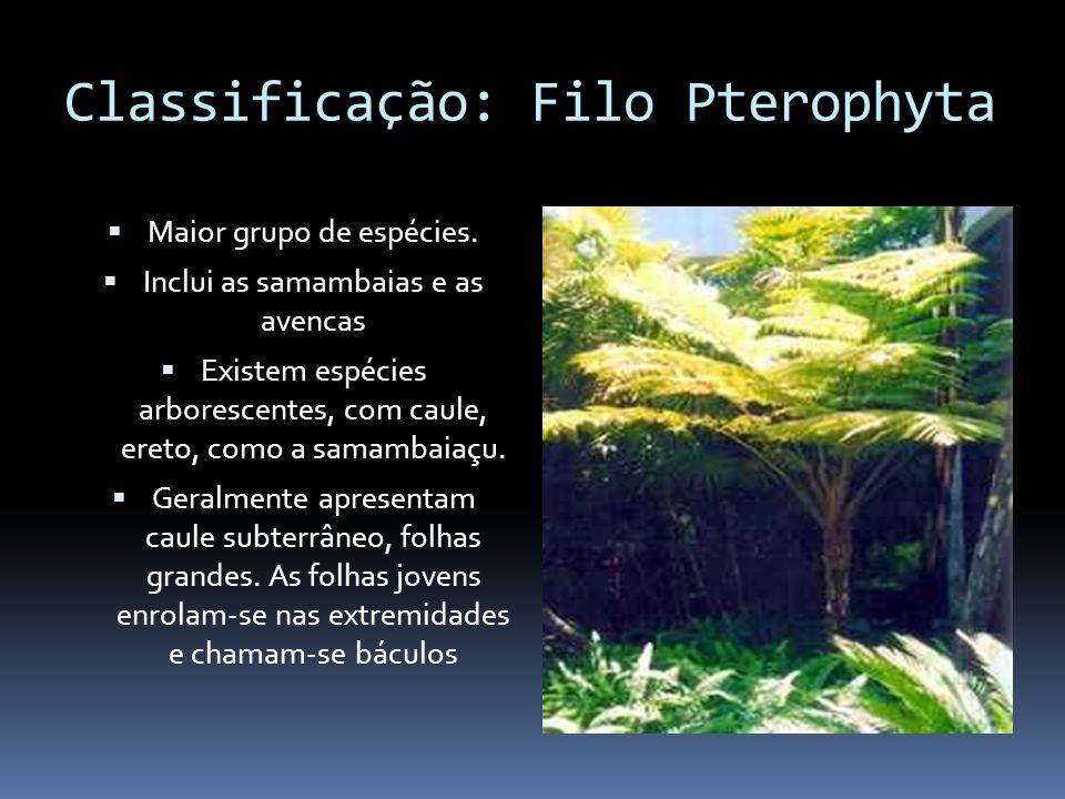 Classificação: Filo Pterophyta Maior grupo de espécies. Inclui as samambaias e as avencas Existem espécies arborescentes, com caule, ereto, como a sam
