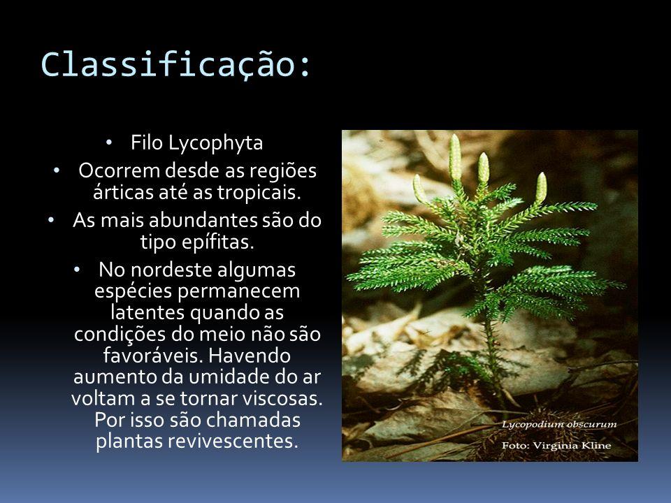 Classificação: Filo Lycophyta Ocorrem desde as regiões árticas até as tropicais. As mais abundantes são do tipo epífitas. No nordeste algumas espécies