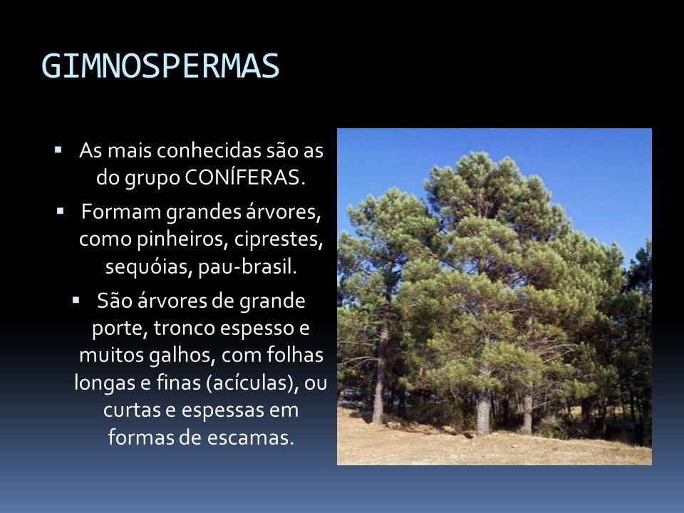 GIMNOSPERMAS As mais conhecidas são as do grupo CONÍFERAS. Formam grandes árvores, como pinheiros, ciprestes, sequóias, pau-brasil. São árvores de gra