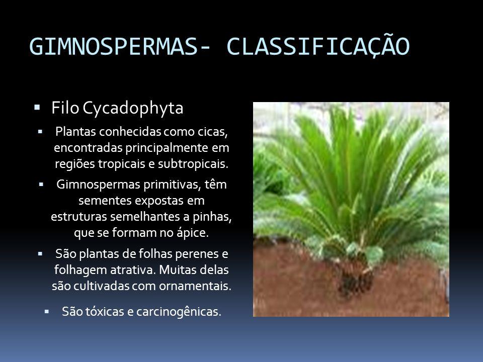 GIMNOSPERMAS- CLASSIFICAÇÃO Filo Cycadophyta Plantas conhecidas como cicas, encontradas principalmente em regiões tropicais e subtropicais. Gimnosperm