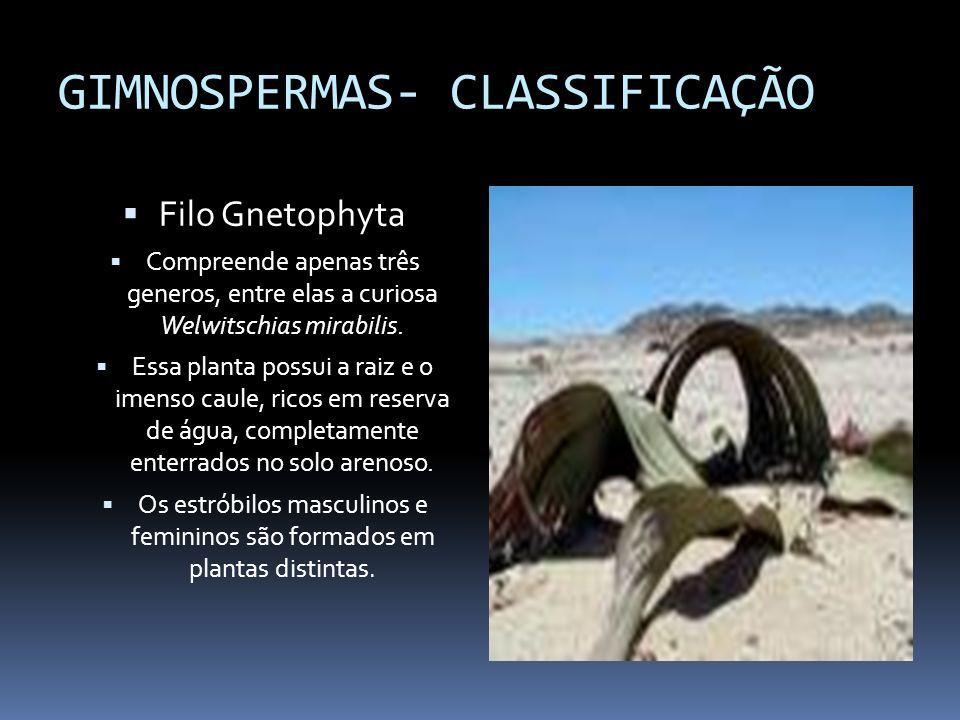GIMNOSPERMAS- CLASSIFICAÇÃO Filo Gnetophyta Compreende apenas três generos, entre elas a curiosa Welwitschias mirabilis. Essa planta possui a raiz e o