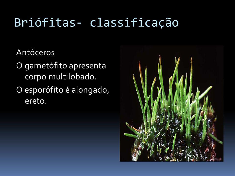Briófitas- classificação Antóceros O gametófito apresenta corpo multilobado. O esporófito é alongado, ereto.