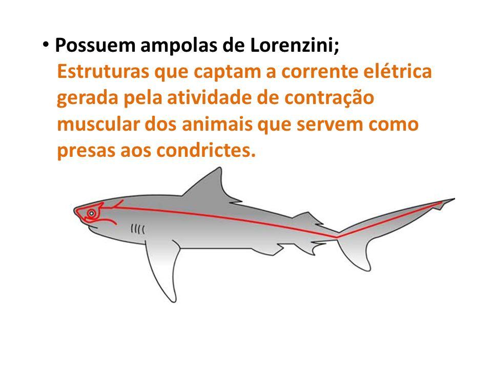 Possuem ampolas de Lorenzini; Estruturas que captam a corrente elétrica gerada pela atividade de contração muscular dos animais que servem como presas