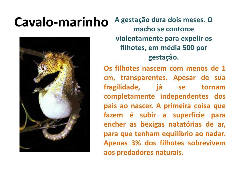 Cavalo-marinho A gestação dura dois meses. O macho se contorce violentamente para expelir os filhotes, em média 500 por gestação. Os filhotes nascem c