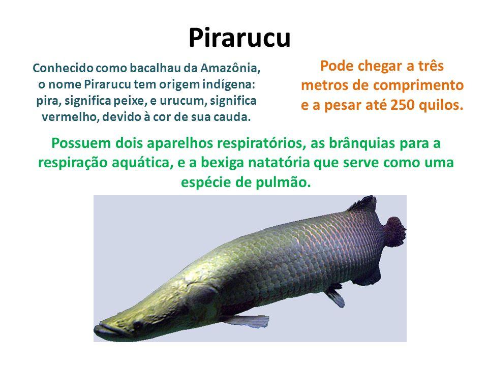 Conhecido como bacalhau da Amazônia, o nome Pirarucu tem origem indígena: pira, significa peixe, e urucum, significa vermelho, devido à cor de sua cau