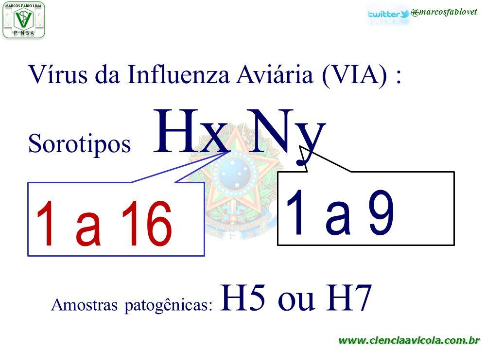 www.cienciaavicola.com.br @marcosfabiovet Amostras patogênicas: H5 ou H7 1 a 16 1 a 9 Vírus da Influenza Aviária (VIA) : Sorotipos Hx Ny