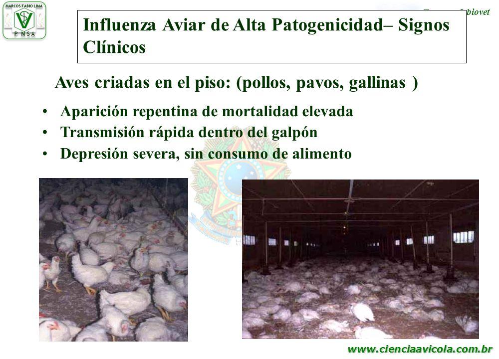 www.cienciaavicola.com.br @marcosfabiovet Influenza Aviar de Alta Patogenicidad– Signos Clínicos Aparición repentina de mortalidad elevada Transmisión
