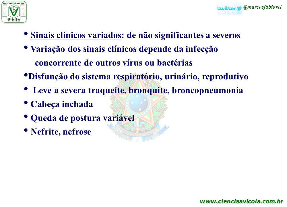 www.cienciaavicola.com.br @marcosfabiovet Sinais clínicos variados: de não significantes a severos Variação dos sinais clínicos depende da infecção co