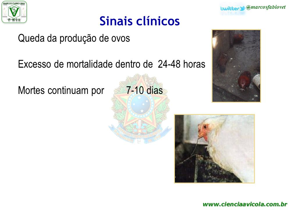 www.cienciaavicola.com.br @marcosfabiovet Sinais clínicos Queda da produção de ovos Excesso de mortalidade dentro de 24-48 horas Mortes continuam por