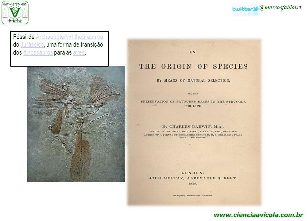 www.cienciaavicola.com.br Fóssil de Archaeopteryx lithographica do Jurássico, uma forma de transição dos dinossauros para as aves.Archaeopteryx lithog