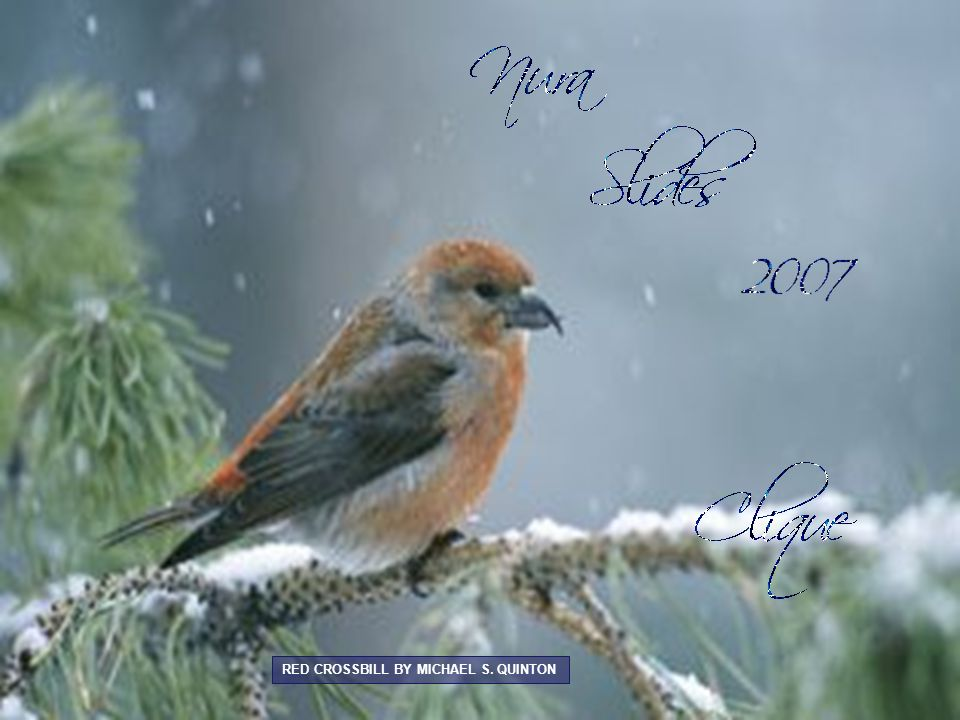 RED CROSSBILL BY MICHAEL S. QUINTON