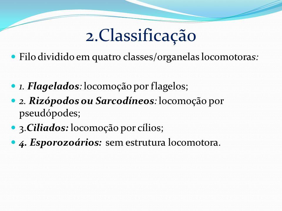 2.Classificação Filo dividido em quatro classes/organelas locomotoras: 1. Flagelados: locomoção por flagelos; 2. Rizópodos ou Sarcodíneos: locomoção p