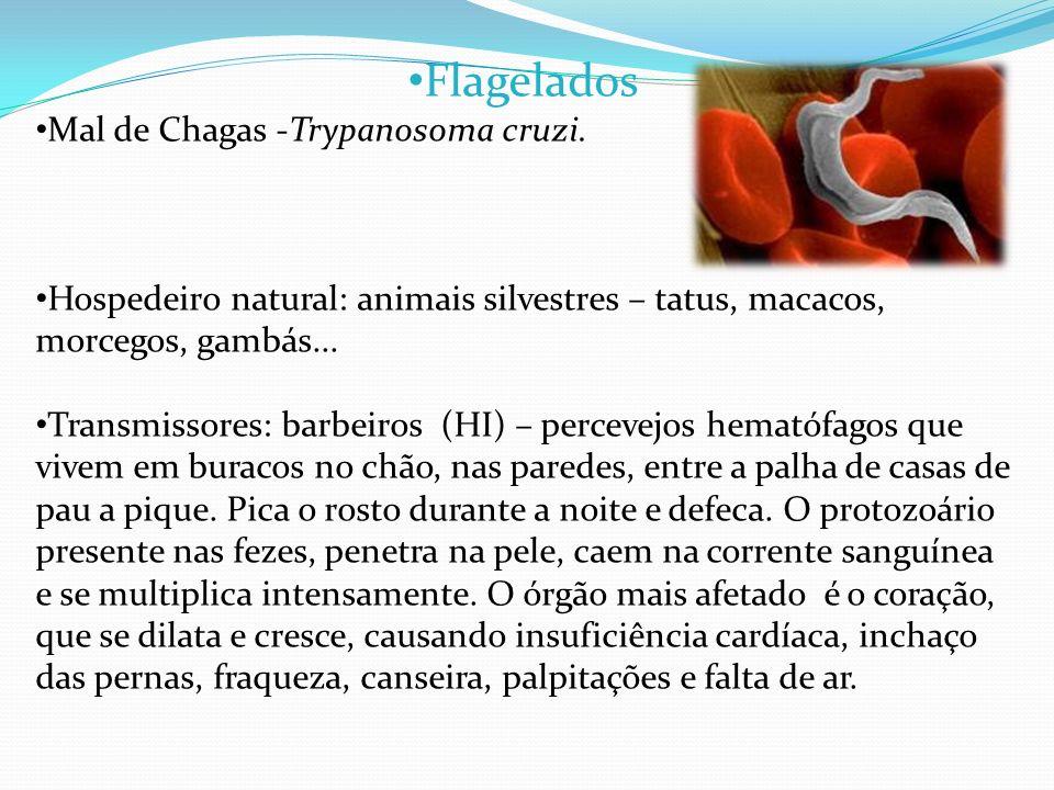 Flagelados Mal de Chagas -Trypanosoma cruzi. Hospedeiro natural: animais silvestres – tatus, macacos, morcegos, gambás... Transmissores: barbeiros (HI