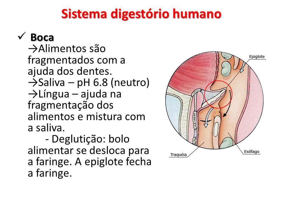 Boca Boca Alimentos são fragmentados com a ajuda dos dentes.