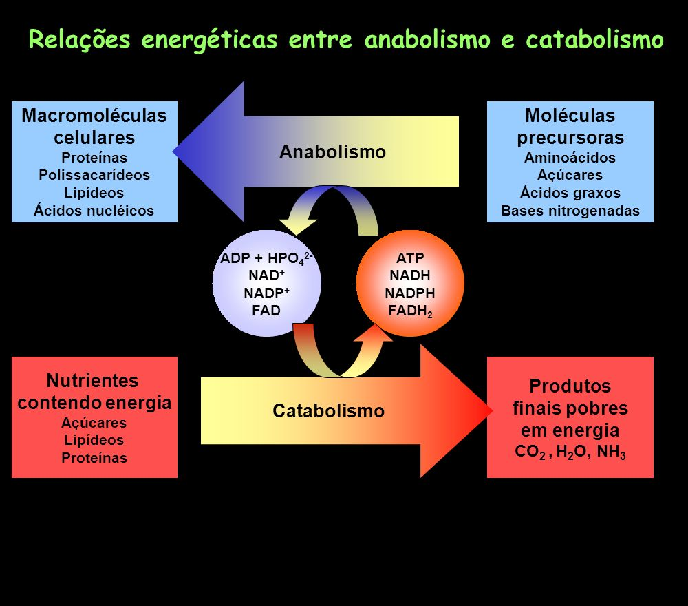 Macromoléculas celulares Proteínas Polissacarídeos Lipídeos Ácidos nucléicos Moléculas precursoras Aminoácidos Açúcares Ácidos graxos Bases nitrogenad