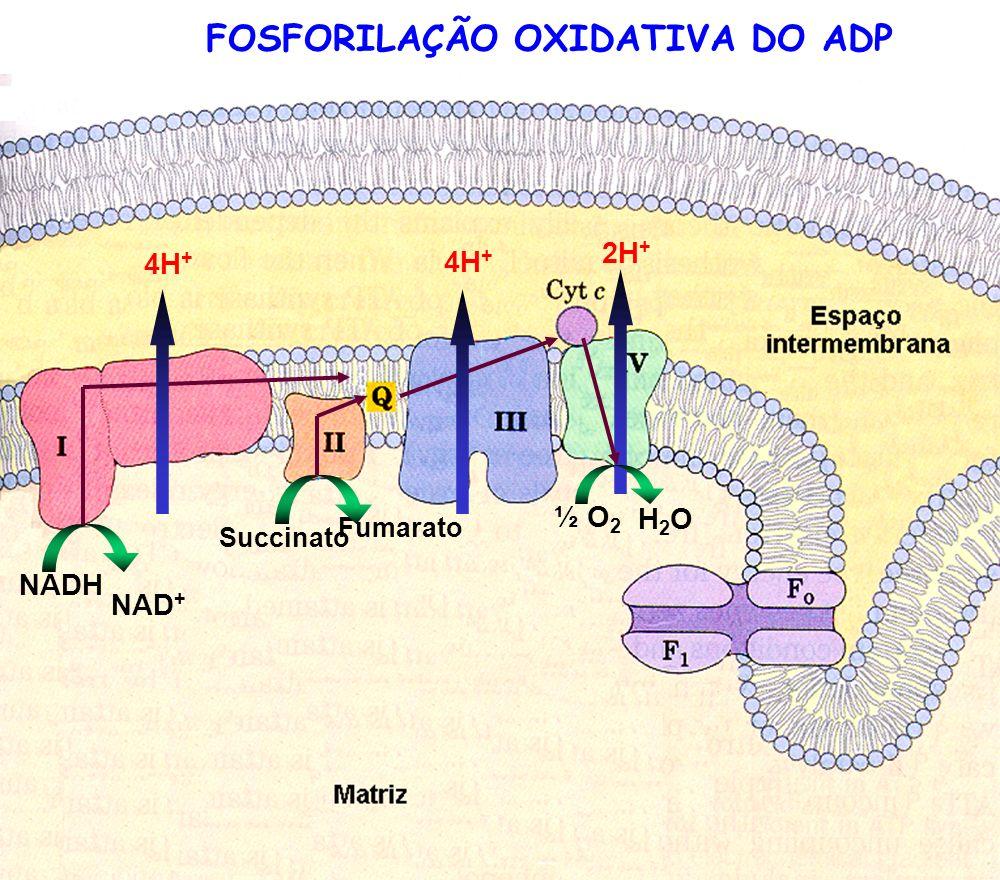NADH NAD + 4H + Succinato Fumarato 4H + ½ O 2 H2OH2O 2H + FOSFORILAÇÃO OXIDATIVA DO ADP