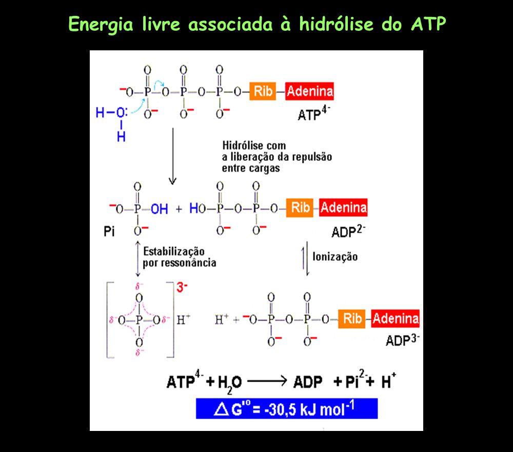 ATP ADP + Pi pH 7; [Mg 2+ ]=10 -2 e [Pi]= 10 -2 M Variação da energia livre de Gibbs para a hidrólise do ATP G (kJ mol -1 ) [ATP/ADP] 010 -7 (equilíbrio) -11,410 -5 -22,810 -3 -28,10 -2 -34,210 -1 -45,610 (citosol em condição celulares) -57,010 3