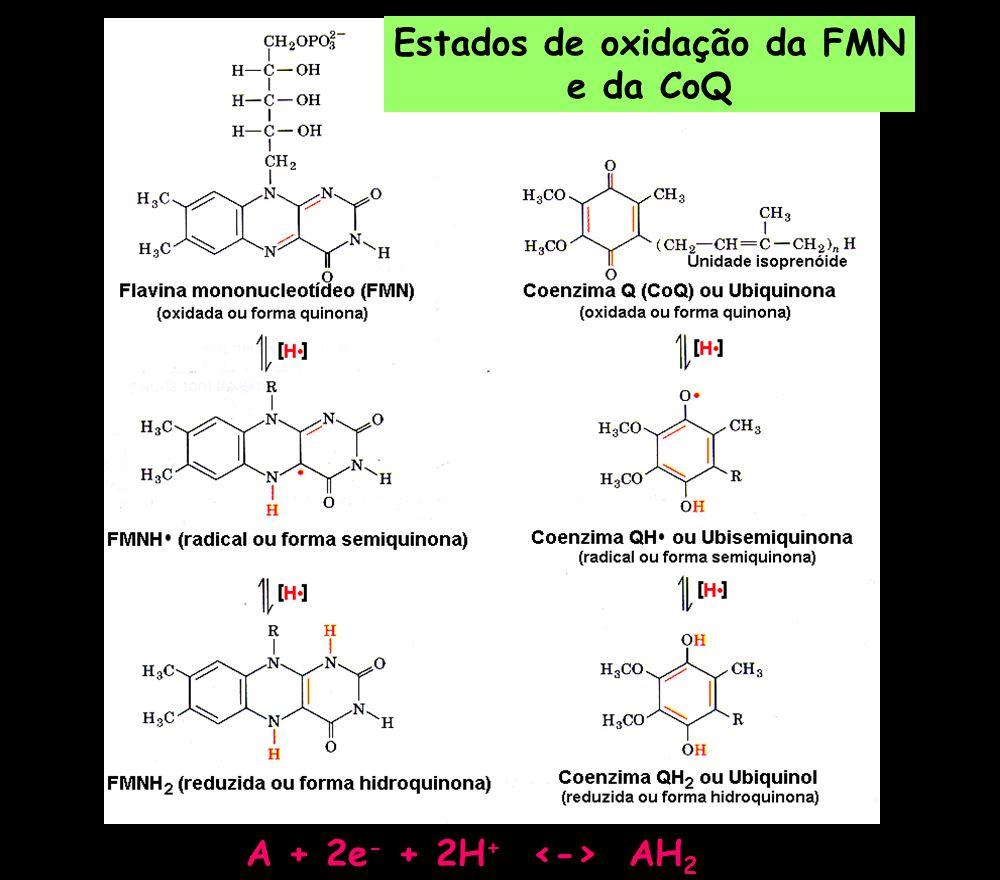 A + 2e - + 2H + AH 2 Estados de oxidação da FMN e da CoQ