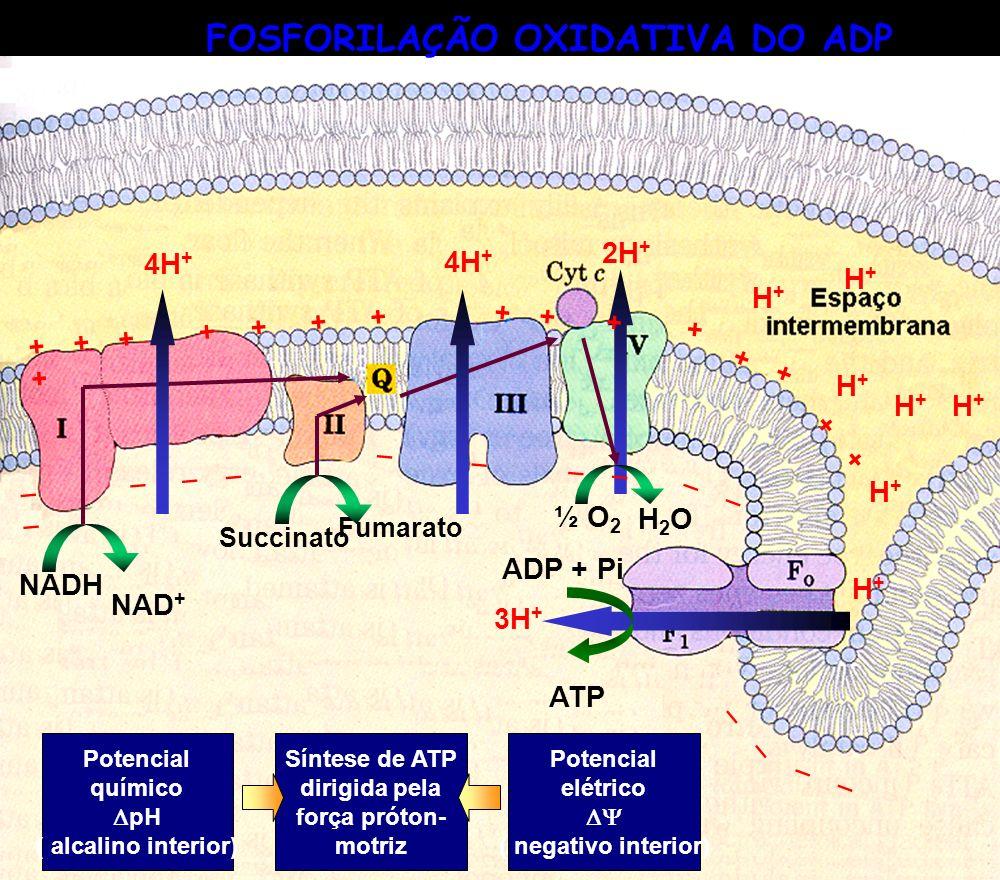 NADH NAD + 4H + Succinato Fumarato 4H + ½ O 2 H2OH2O 2H + NADH NAD + 4H + Succinato Fumarato 4H + ½ O 2 H2OH2O 2H + + + + + + + + _ _ _ _ _ _ _ _ H+H+